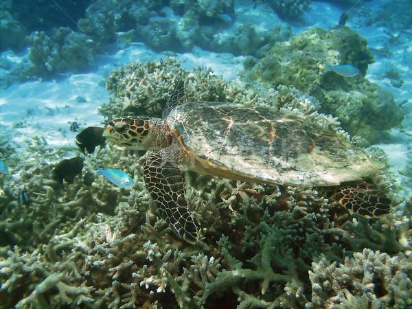 Stockfoto: Schildpad · koraalrif · zee · zwemmen · vis