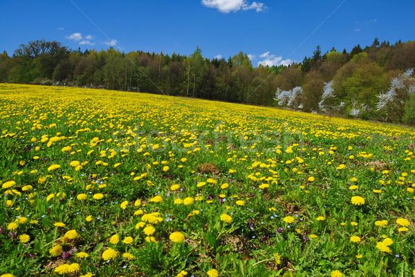 タンポポ 草原 美しい 夏 フィールド フル ストックフォト © fyletto