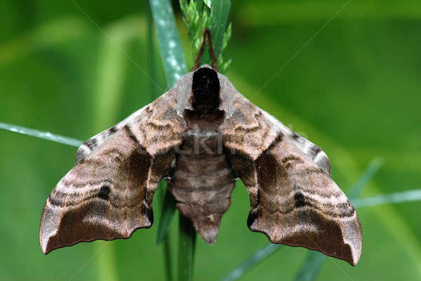 Moth on a stalk Stock photo © fyletto