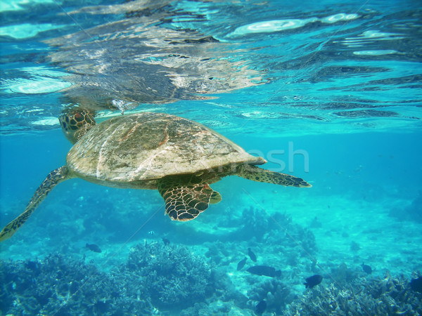 Turtle and coral reef Stock photo © fyletto