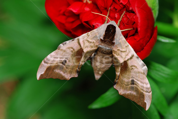 Moth and flower Stock photo © fyletto
