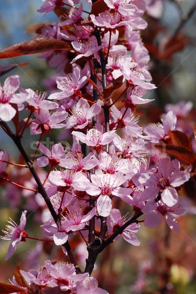 Cereza hermosa primavera rosa naturaleza Foto stock © fyletto