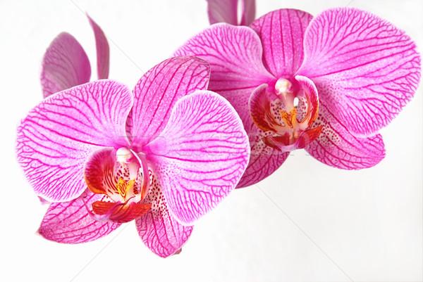 Rosa orquídeas macro hermosa flor primavera Foto stock © fyletto