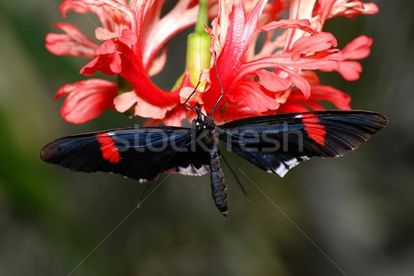 Orchidea bella farfalla seduta rosso fiori Foto d'archivio © fyletto