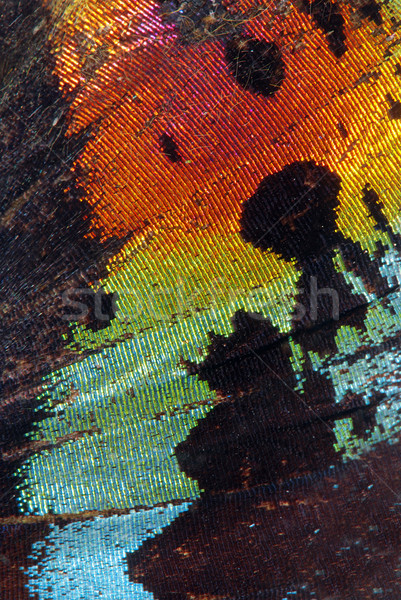 Butterfly wing Stock photo © fyletto