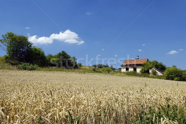 Pole pszenicy Błękitne niebo stary dom niebo domu wiosną Zdjęcia stock © fyletto
