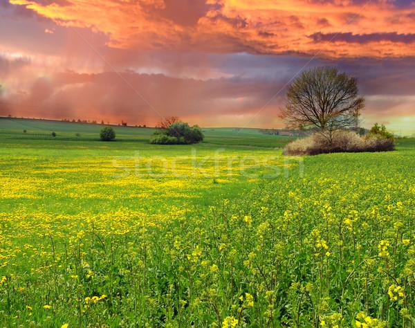 Rape field at sunset Stock photo © fyletto