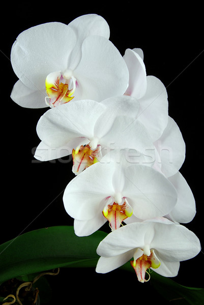 Orchidea biały księżyc zielone liście czarny kwiat Zdjęcia stock © fyletto