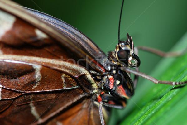 бабочка подробность красивой тропические сидят зеленый лист Сток-фото © fyletto