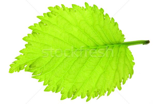 葉 新鮮な 緑 ツリー 白 ストックフォト © fyletto