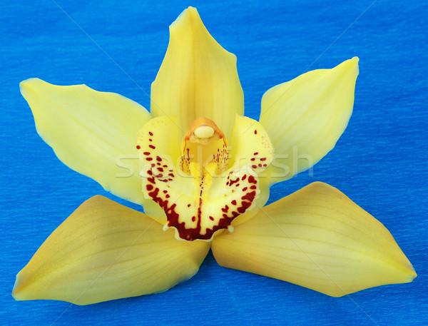 Geel orchidee Blauw macro geïsoleerd bloem Stockfoto © fyletto