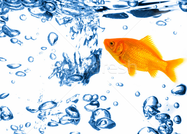 Or poissons eau faible Goldfish fraîches Photo stock © fyletto