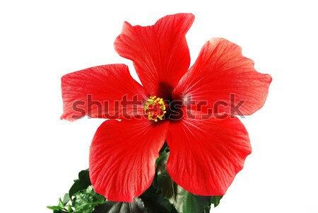 Piros hibiszkusz gyönyörű virág zöld levelek fehér Stock fotó © fyletto