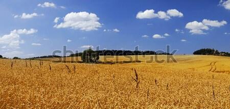 Dziedzinie dojrzały pszenicy pole pszenicy Błękitne niebo pełny Zdjęcia stock © fyletto
