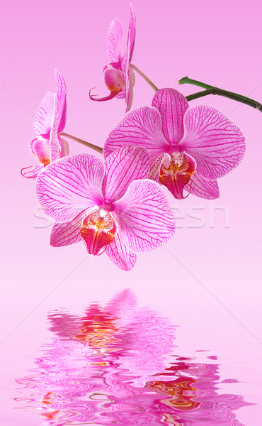 Pink orchid reflection Stock photo © fyletto