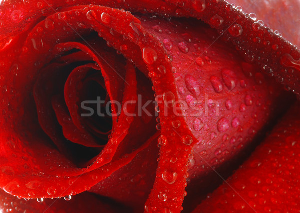 Rose with dew Stock photo © fyletto