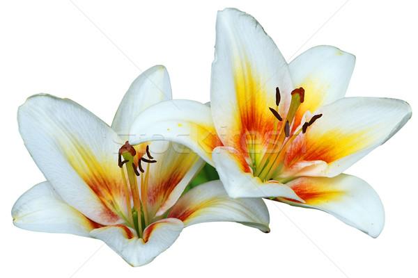 Dwa lilie piękna odizolowany biały kwiaty Zdjęcia stock © fyletto
