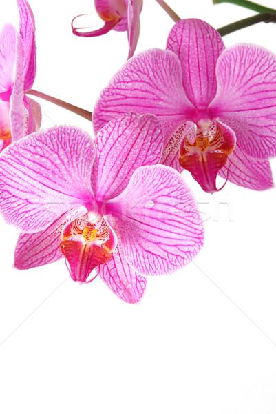 Piękna Orchidea odizolowany krople rosa kwiat Zdjęcia stock © fyletto