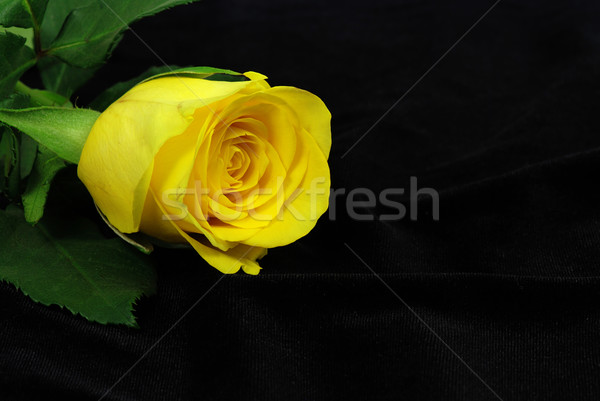Citromsárga rózsa fekete virág selyem virág Stock fotó © fyletto