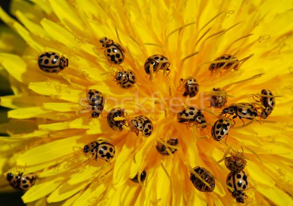 Diente de león pequeño mariquita errores flor primavera Foto stock © fyletto