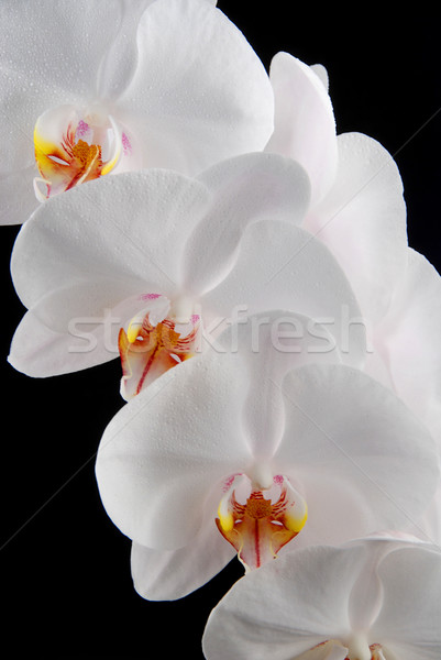 White orchid Stock photo © fyletto