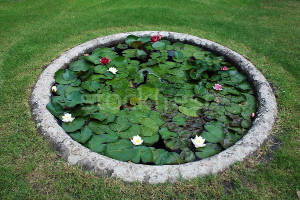 Jardín estanque agua loto pequeño flor Foto stock © fyletto