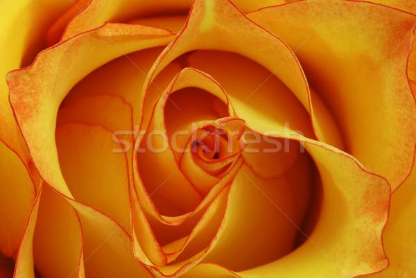 Orange rose macro coup fleur belle Photo stock © fyletto