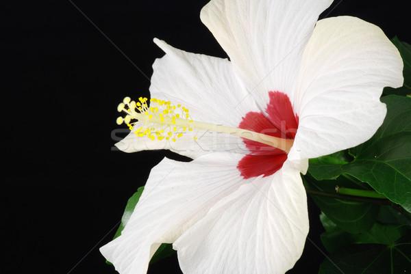 Witte hibiscus mooie geïsoleerd zwarte bos Stockfoto © fyletto