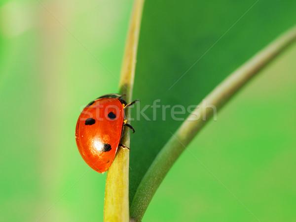 Mariquita manera pequeño error hoja verde primavera Foto stock © fyletto