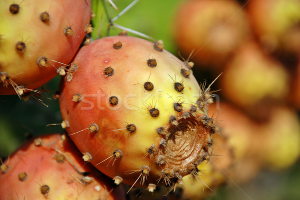 Opuntia cactus Stock photo © fyletto