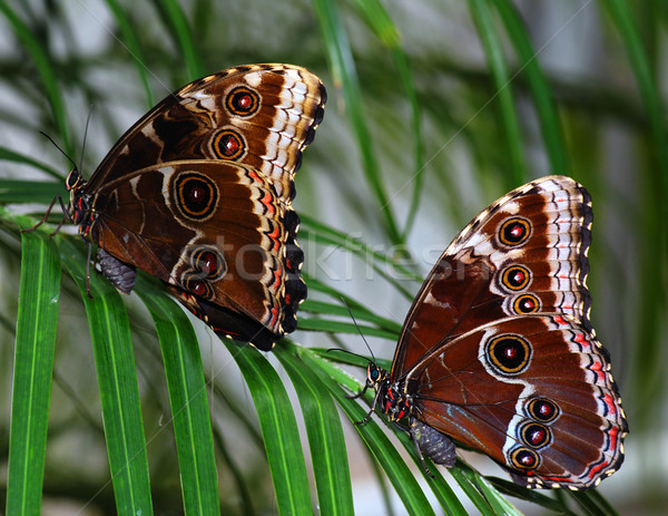 Kettő pillangók ág trópusi ül pálma Stock fotó © fyletto