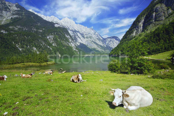 Cows and Koenigssee Stock photo © fyletto