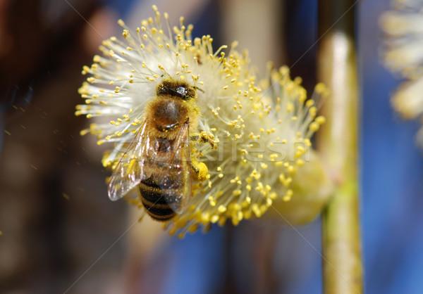 Ape macro raccolta polline fioritura primavera Foto d'archivio © fyletto