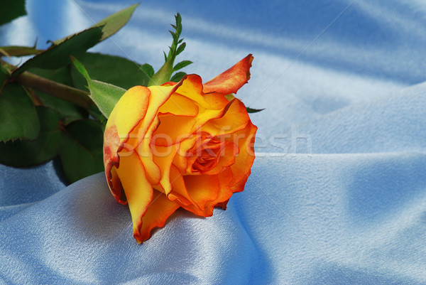 Rose satin belle orange bleu Photo stock © fyletto