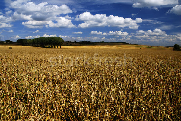 Field with wheat Stock photo © fyletto