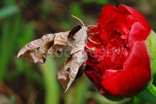 Flor grande sesión rojo mariposa verde Foto stock © fyletto
