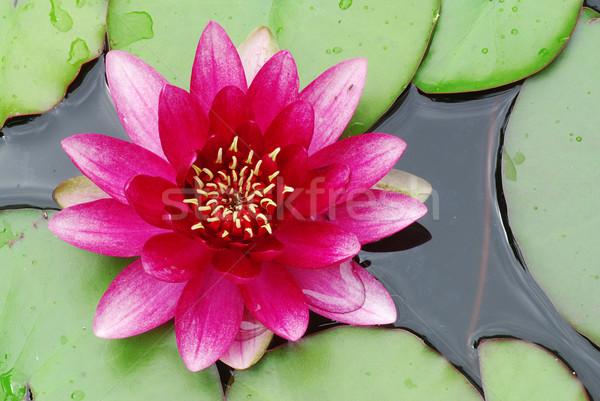 Rosa agua Lily hermosa detalle Foto stock © fyletto