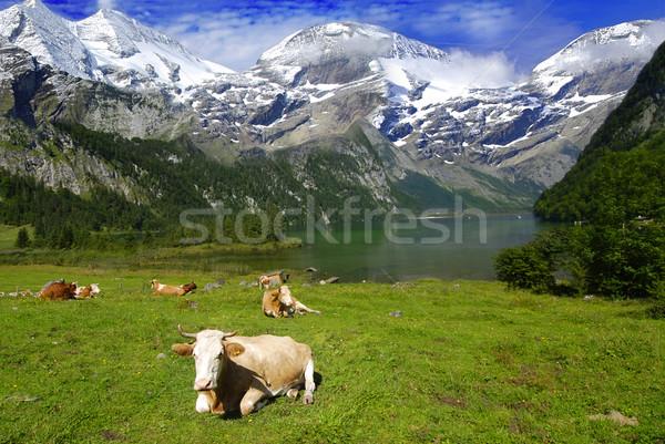 Inekler göl dağlar güzel alpine manzara Stok fotoğraf © fyletto