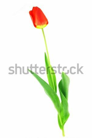 Tulip красивой красный листьев белый Пасху Сток-фото © fyletto