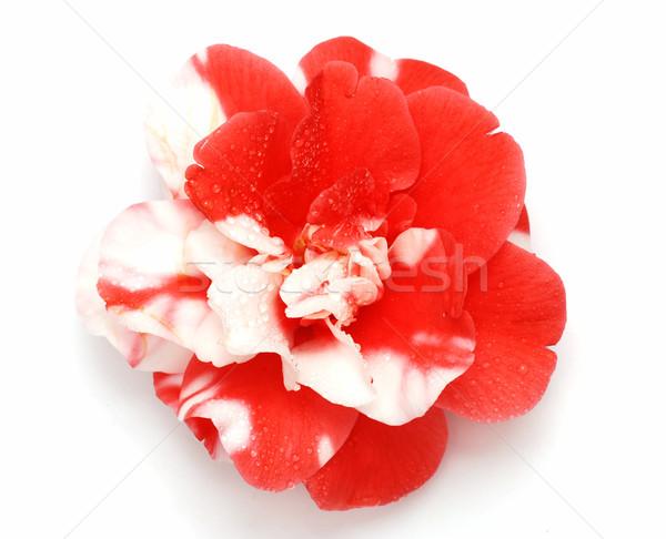 Hermosa rojo blanco japonés aumentó macro Foto stock © fyletto