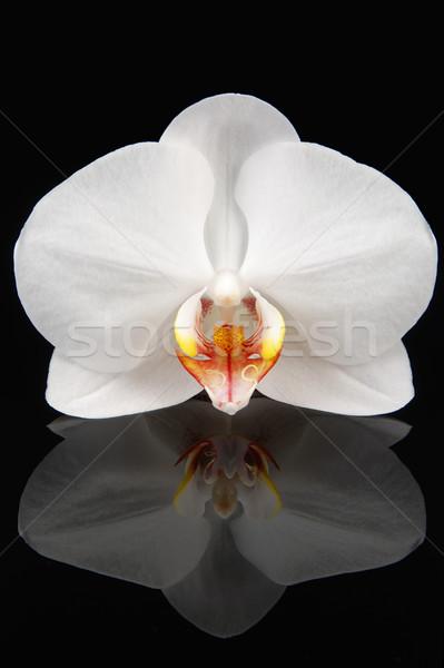Blanco orquídeas negro hermosa inocente Foto stock © fyletto