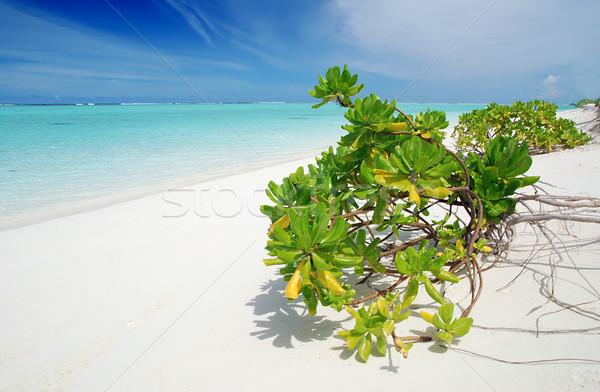 Tropicali paradiso Maldive bianco spiaggia vegetazione Foto d'archivio © fyletto