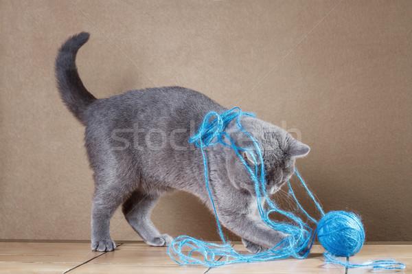 İngilizler mavi kedi oynama top iplik Stok fotoğraf © g215