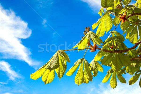 филиала каштан небе фон лет зеленый Сток-фото © g215