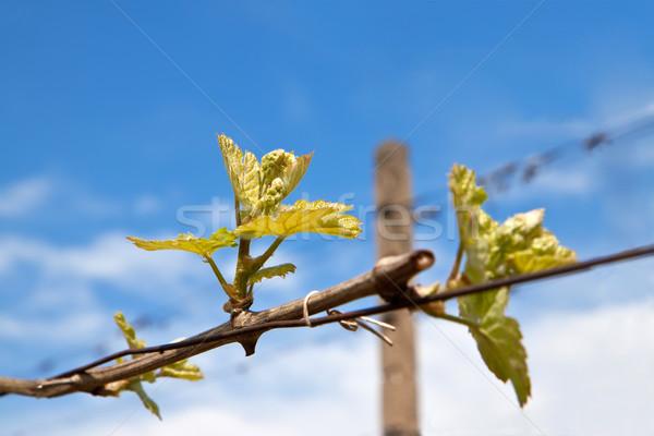 Winorośl Błękitne niebo niebo charakter niebieski roślin Zdjęcia stock © g215