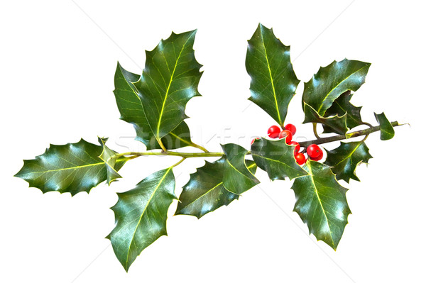 holly leaves and berries isolated on a white background  Stock photo © g215