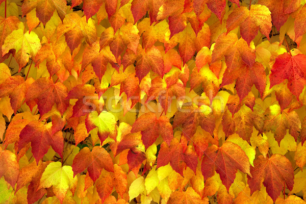 Background from autumn leaves. Stock photo © g215