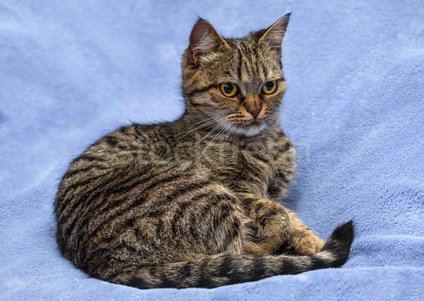 Europese kat ogen natuur hoofd dier Stockfoto © g215