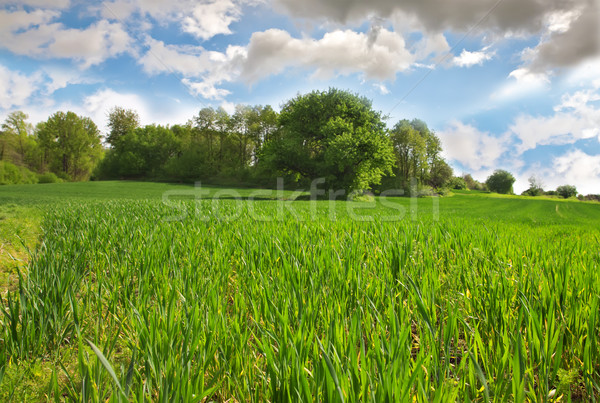 Wheat field with the young shoots of wheat Stock photo © g215
