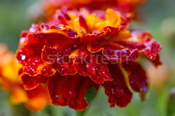 Marigold flower close-up Stock photo © g215